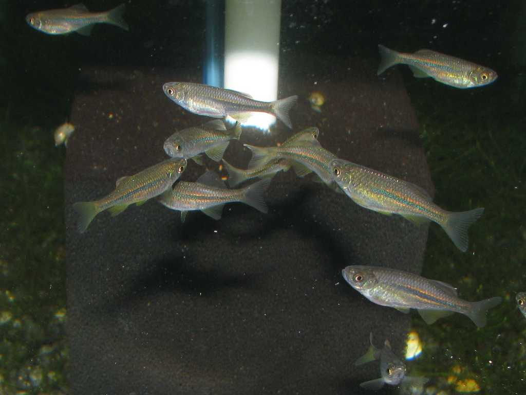 Acrostomus fry at 3 months