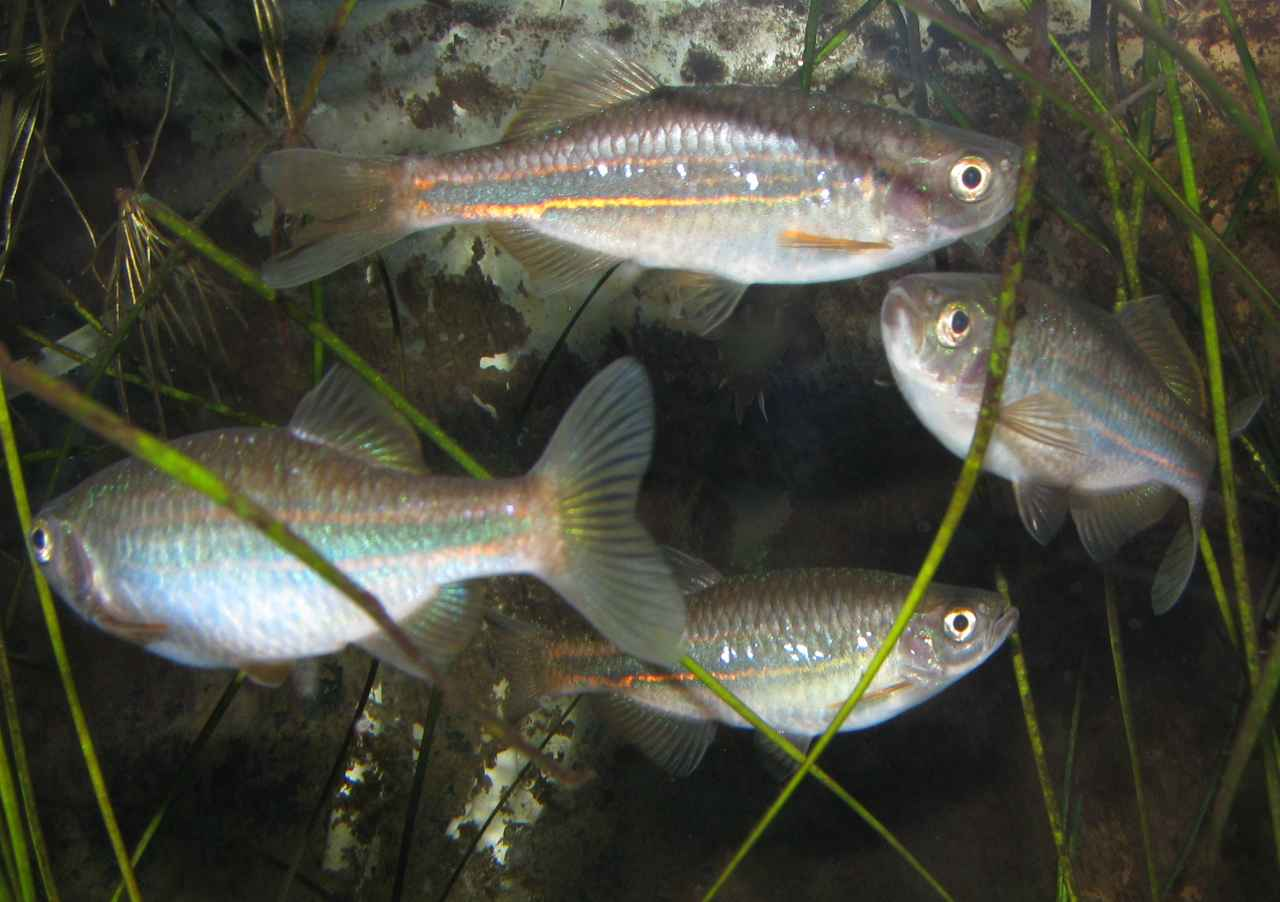 Devario acrostomus adults
