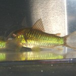 HCA Green aeneus cories